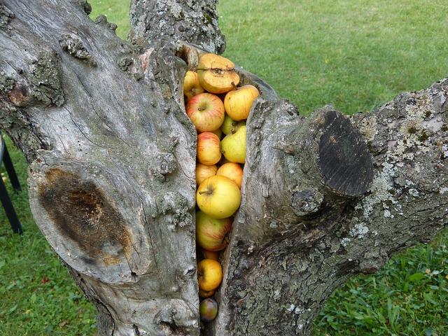 jablka ve kmenu